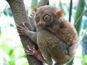 climbing tarsier
