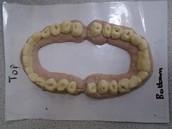 Teeth inspections!