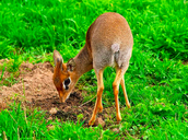 Dik-diks (Yes that is their name)