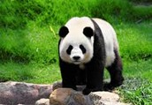 Why where Giant Pandas going extinct?