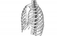A side/ front view of a ribcage