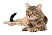 Tabby Cats.