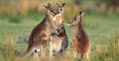 Single Kangaroo Looking for Fun!
