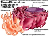 Rough and smooth endoplasmic reticulums