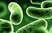 Streptococcus Pneumonia-
