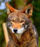 Red Wolves eat other mammals, berries or insects.