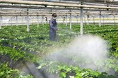 man spraying insecticides