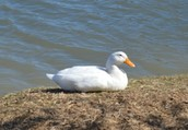 White Pekin Duck/Domestic Duck