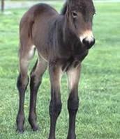 Idaho Gem the Mule