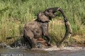 Gator eats Elephant