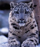 The Face Of A Snow Leopard