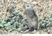 About the Salt Marsh Harvest Mouse