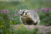 State Animal = The Badger