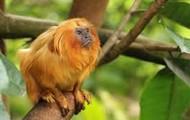 The Golden Lion Tamarind Monkeys