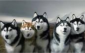 I like huskies