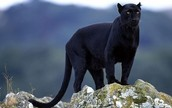 Real black panther
