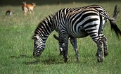zebra in its natural habitat