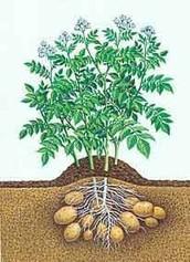 نبتة البطاطا