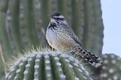 State Bird Cactus Wren