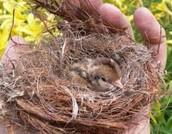 the baby birds