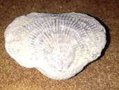 Pelecypod