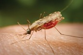 what is Malaria ?
