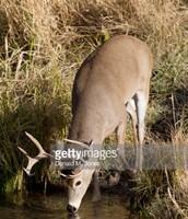 White-tailed deer drinking