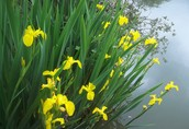 Yellow flag Iris Habitat, Dispersal and History
