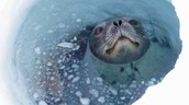 Weddell seal comes up through the sea ice to take a breath