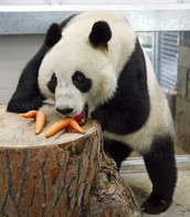 panda with a carrot
