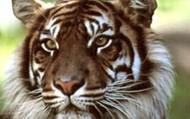 Samatran Tiger