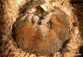 Ground Squirrels Hibernating