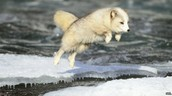 Endangered Arctic Fox