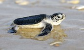 Leatherblack Turtle