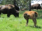 A buffalo and its calf