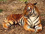 About The South China Tiger