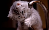 Did you know? All cats like water if you don't force them!