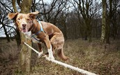 FASTEST CROSSING OF A TIGHTROPE BY A DOG