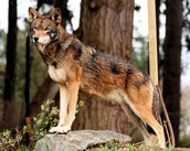 Adult male Red Wolf