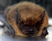 This is a brown bat sitting down.