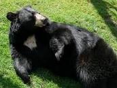 berta the black bear