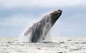 Humpback whale in the Pacific Ocean