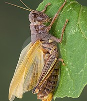 Grasshopper Adaptations