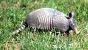 THE ARMADILLO lives in the prairies and lakes