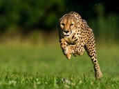 The Fast Cheetah