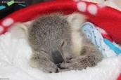 how do koalas survive ?