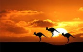 australia has lots of kangaroos and other animals