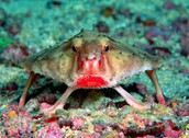 the red lippe batfish