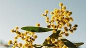 Acacia Plant