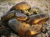 La Anaconda